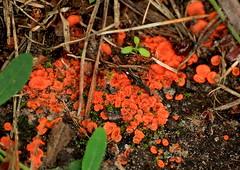 Smile on Saturday - Red Rules (Ramunė Vakarė) Tags: melastizachateri smileonsaturday redrules fungi pyronemataceae pezizales fungus mushroom nature lithuania eičiai ramunėvakarė