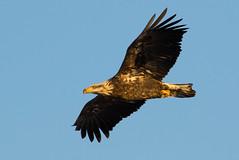 immature_bald_eagle-9325 (pjh2000) Tags: haliaeetusleucocephalus baldeagle bird birding birdwatching foxriver illinois wildlife winter canon7dmarkii sigma