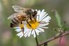 Bee and Bug (Helen Cunningham) Tags: bee d500 afsnikkor300mmf4epfedvr westlaunceston tasmania
