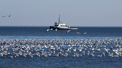 Snow Geese at Lewes Beach, Delaware (dckellyphoto) Tags: delaware lewes lewesbeach lewesbeachdelaware 2017 december ef75300mm snowgeese coast coastline shore shoreline atlanticocean birds ansercaerulescens tugboat blueazul bluestblue blue