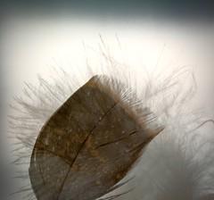 Double Exposure - Macro Mondays (Kreative Capture) Tags: macromondays doubleexposure two feathers fluffy exposure natural 7dwf macromonday brown january nikkor nikon d7100