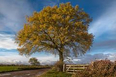 after rain comes sunshine (fredvr (Fred van Rooijen)) Tags: gorssel autumn blauw blue bomen boom geel herfst nature natuur tree trees yellow