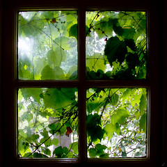 vitis vinifera (lautxi) Tags: southafrica sudafrica contraluz vid viñedo vine winery winelands franschhoek capetown vineyard