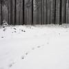 Fox track (nikjanssen) Tags: track hohesvenn belgium forest rockpaper