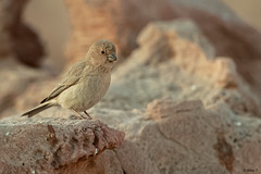 Sinai rosefinch (female) (Dave 5533) Tags: sinairosefinch carpodacussynoicus songbird wild nature naturephotography wildlife birdsinisrael birdphotography canoneos1dx ef300mmf28lisiiusm birds birdwatching outdoor animal ngc npc