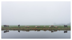 Sheep in Mist (Paulemans) Tags: sheep schapen mist sony282470zassm paulemans paulderoode sony 282470 za ssm