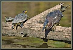 CANOE?? I don't need no stinkin' canoe!!!! (WanaM3) Tags: wanam3 nikon d7100 nikond7100 texas pasadena clearlakecity horsepenbayou bayou outdoors nature wildlife canoeing paddling animal bird heron greenie greenheron