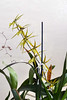 Brassidium Gilden Urchin 'Ontario' hybrid orchid 12-17 (nolehace) Tags: brassidium gilden urchin ontario hybrid orchid 1217 cultivar fall nolehace sanfrancisco fz1000 flower bloom plant
