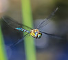 Dragon-FLY (Paul Wrights Reserved) Tags: dragonfly dragonflies inflight insect flyinginsect insects movement moving flying bug bugeyed bugeye wings seethrough transparent colour colourful coloured color eye body macro