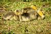 Resting (RGaenssler) Tags: entenvögel gänse kanadagans vögel wirbeltiere echtegänse meergänse gänsevögel tiere floraundfauna anatidae anseriformes anserinae anserini aves branta brantacanadensis canadagoose freudenstadt badenwürttemberg de