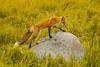 High stepping (ChicagoBob46) Tags: redfox fox yellowstone yellowstonenationalpark nature wildlife coth5 ngc