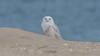 Snowy Owls of New Jersey | 2017 - 26 (RGL_Photography) Tags: birding birds birdsofprey birdwatching buboscandiacus gardenstate jerseyshore monmouthcounty mothernature nature newjersey nikonafs600mmf4gedvr nikond500 ornithology owls raptors snowyowl us unitedstates wildlife wildlifephotography beachowl