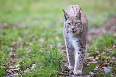 Miaow! (The Wasp Factory) Tags: eurasianlynx lynx eurasischerluchs nordluchs luchs lynxlynx tierparksababurg tierpark sababurg wildpark wildlifepark