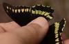 Battus polydamas polydamas (Linnaeus, 1758) (robertoguerra10) Tags: battus polydamas preta amarela red vermelha spots body dorsal wings ventral papilionidae