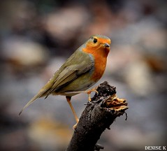 Posing Robin - Serious Nails! (denisekennedy) Tags: robin birdsofafeather ireland nature winter parklife woods robinredbreast canon photography