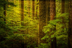 Of Elves and Faeries (Dan Mihai) Tags: forest washingtonstate beautiful nature evergreen trees pacificnorthwest mountrainiernationalpark light rays beams