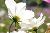 The Adventures of Pic in Japan ~ Told by himself 27/55 (**Alice**) Tags: pic sonyα450 japan japonia 日本 mangusta mangustă mongoose showamemorialpark cosmos cosmosflowers white alb whitecosmos 16105mm
