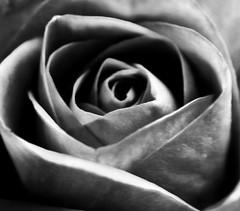 Close up pink rose. 🌹🌹🌹 (LeanneHall3 :-)) Tags: blackandwhite rose rosepetal petals flower closeup closeupphotography flowerarebeautiful flowersarefabulous flowerflowerflower canon 1300d conversionlens