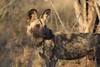The African Wild Dog- A Portrait (The Spirit of the World ( On and Off)) Tags: wilddog pack portrait safari ngala timbavati southafrica africa trees clearing nature wildlife goldenhour gamedrive raresighting endangered painteddog africanwilddog capehuntingdog savanna