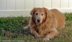 Cali (mylesfox) Tags: goldie golden retriever
