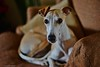 Toby (Rex Montalban Photography) Tags: rexmontalbanphotography dog whippet