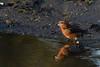 Parrot Crossbill Santon Warren Norfolk d (JohnMannPhoto) Tags: parrot crossbill santon warren norfolk bird drinking