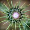LR Jordan 2017-4171015 (hunbille) Tags: birgittejordan72017lr jordan wadi rum wadirum desert protected saabit area saabet wadisaabit south thistle flower thorn thorns bud