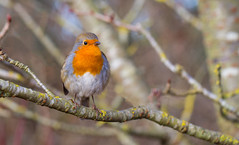 Robin at RHS Wisley (spencerrushton) Tags: spencerrushton spencer rushton sun canon canonl canonlens colour 100mm canon100mmf28lmacroisusm efcanon100mmf28lmacroisusm usm100mmgardengardensmanfrottomanfrotto rhs rhswisley rhswislay robin bird gardens garden uknature nature winter robinredbrest animal beautiful outdoors walk wood raw lightroom dslr day dayout daylight dethoffield