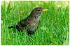 Merla - Mirlo común - Common blackbird - Turdus merula (aurearamon) Tags: merla mirlocomún turdusmerula commonblackbird vitoriagasteiz animal aves ave birds bird pájaros ocells olympus em5 micro43 leica100400f463