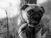 Baron 17ww (wketsch) Tags: olympus 1240pro tree nature dog pug animal pup leechwald grass loveley mops bw