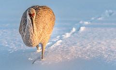 Snowbird (Wes Iversen) Tags: antigonecanadensis brighton gruscanadensis kensingtonmetropark michigan milford sandhillcranes tamron150600mm birds ice nature snow water wildlife winter