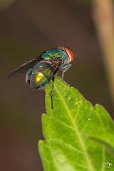 Une mouche très colorée (alain_did) Tags: mouche nature couleurs