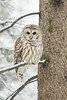 ''La belle de la forêt!'' Chouette rayée-Barred owl strix varia (pascaleforest) Tags: hibou owl passion nikon wild wildlife faune winter hiver snow neige arbre wood animal oiseau bird forêt forest nationalgeographique