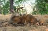 Urban Mule (Black Tail) Deer -- Buck in Velvet (Odocoileus hemionus);  Water Park, Kelowna, BC, Canada [Lou Feltz] (deserttoad) Tags: nature mammal animal gameanimal muledeer tree canada bc water lake park behavior