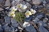 Spitsbergen (wietsej) Tags: spitsbergen svalbard flower olympus om4 nature