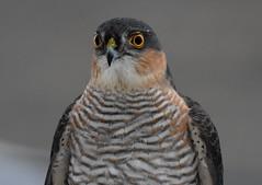 Sparrowhawk. (jimbrownrosyth) Tags:
