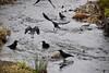 Bowker Creek crows (ngawangchodron) Tags: victoriagridproject m31 oakbay victoria bc canada vancouverisland bowkercreek
