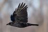 1DM44741 crow (dave v) Tags: 1d4 150600