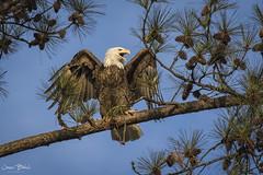 BC Bald Female Eagle 1 (Jason Blalock) Tags: berry berrycollege college berrycollegeeagles eagle baldeagle americanbaldeagle raptor bird birdofprey avian haliaeetusleucocephalus