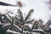 Snow-Covered Pine Needles - St. Croix State Park (Tony Webster) Tags: december minnesota saintcroixstatepark stcroixstatepark bokeh needles pineneedles pinetree snow snowcovered statepark tree winter hinckley unitedstates us