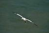 Gannet coming up to land (rtatn8) Tags: bemptoncliffsrspb eastridingofyorkshire uk wildlife bird gannet morusbassanus flikr birdinflight bif