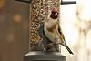Chardonneret élégant (Nicolas4065) Tags: passereaux fringillidés oiseaux birds aves passeriformes bec plume rouge animal wild wildlife outdoor extérieur winter hiver landes aquitaine europe france mangeoire wallpaper chardonneret granivores canon ornithologie