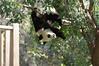 1-year-old Chulina (竹莉娜) 2017-10-11 (kuromimi64) Tags: zooaquariumdemadrid madridzooaquarium madridzoo 動物園 zoo madrid マドリード マドリッド spain españa スペイン europe ヨーロッパ bear クマ 熊 giantpanda ジャイアントパンダ panda パンダ 熊猫 大熊猫 chulina 竹莉娜