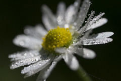 daisy drops 1b (bascat) Tags: bascat bas daisy flowers water drops droplets canon sigma 70mm f28 macro
