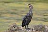 Cormorant (drbut) Tags: cormorant phalacrocoraxcarbo water fish bird birds nature wildlife canonef500f4lisusm