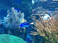 Coral reef fish (3) #toronto #ripleysaquarium #aquarium #fish #coralreef #latergram (randyfmcdonald) Tags: fish ripleysaquarium latergram coralreef aquarium toronto