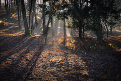 mystical woods (Emma Varley) Tags: golden shadows long morning woods leaf mist rays light sulingtonwarren westsussex winter december