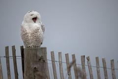 _RDX2989.jpg (rdelonga) Tags: nycteascandiaca snowyowl