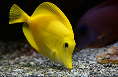 Tangy (Wildlife Online) Tags: yellowtang zebrasomaflavescens zebrasoma flavescens tang fish yellowfish animal wildlife marine sea marinelife tropicalfish aquarium bluereefnewquay marcbaldwin wildlifeonline