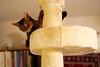 Lizzie playing: You scratch me and I'll scratch you! (DizzieMizzieLizzie) Tags: abyssinian aby beautiful wonderful lizzie dizziemizzielizzie portrait cat chats feline gato gatto katt katze katzen kot meow pisica sony animal pet 2017 cute yellow neko macska kedi 猫 kočka kissa γάτα köttur kucing kaķis katė кошка mačka gatos kitteh chat ネコ beauty a6500 zeiss 55mm ilce6500 ilce sel55f18z sonnar awesome digital golden style sport